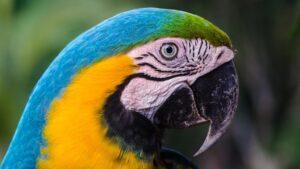 Los ojos de la guacamaya azul y amarilla